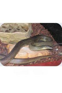 Le King Snake