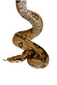 Le Boa Constrictor