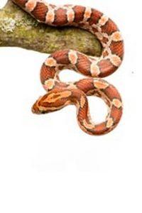 Le Corn Snake