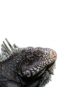 Iguane noir