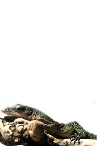 Varan à la Gorge Pêche